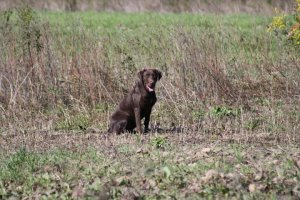 Kimber The Hunter's Gunpowder and Lead Chocolate Labrador Retriever